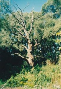Тарасів дуб