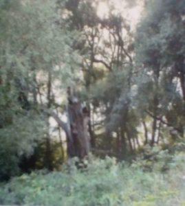 Дуб, під яким творив Т.Г. Шевченко