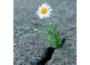 Ромен-цвіт - ромашка