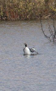 Гагара, ставок у Хмелові