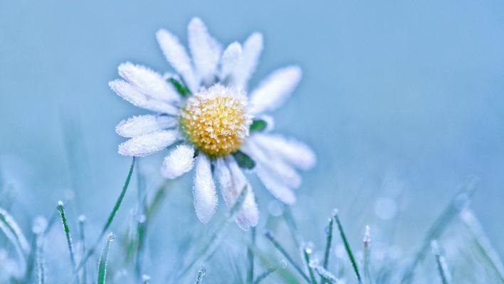 Ромен-цвіт на снігу